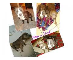 SADBA Registered Blue & White Pitbull Puppies