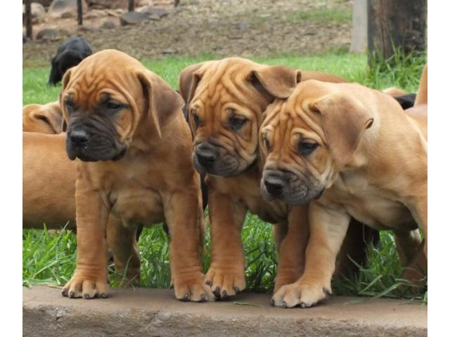 Beautiful Boerboel Puppies for sale. Mother: ...