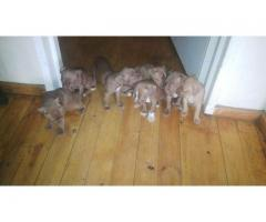 Beautiful pitbull puppies for sale. Brown wit...