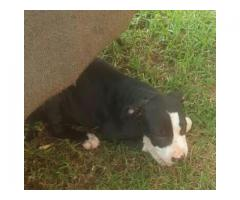 American Pitbull Terrier Puppies For Sale