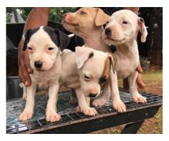 Mayday and American pit bull for sale