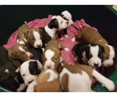 PURE BREED AMERICAN PITBULLS FOR SALE