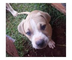 American Pitbull Pups