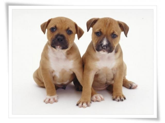 Beautiful Purebred adorable Staffie puppies f...