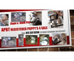 Thorough Bred Pitbull puppies for sale