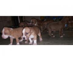 Purebred American pitbull terrier puppies for sale (Hank/carver bloodline)