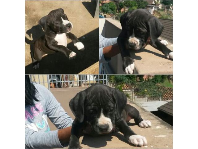 American Pit Bull Terriers for sale (SADBA re...