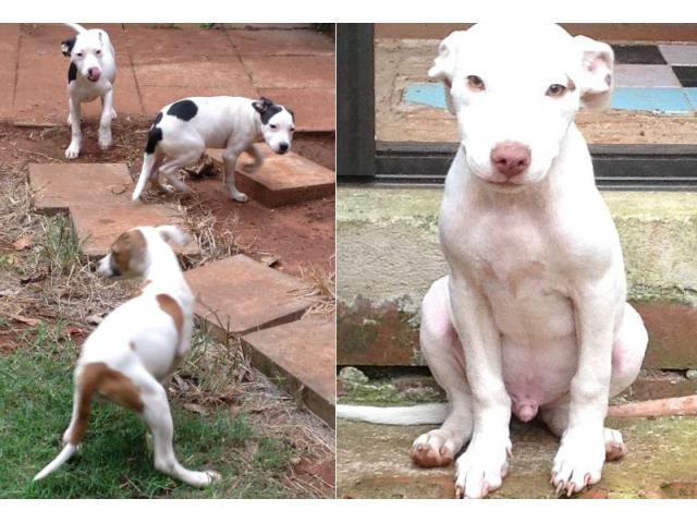 Beautiful American pitbull puppies for sale (...