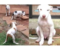 Beautiful American pit bull puppies for sale (pure breed)