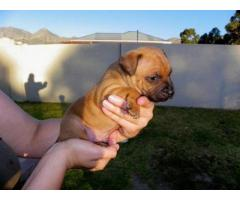 Purebred staffie puppies for sale in Somerset West (Western Cape)