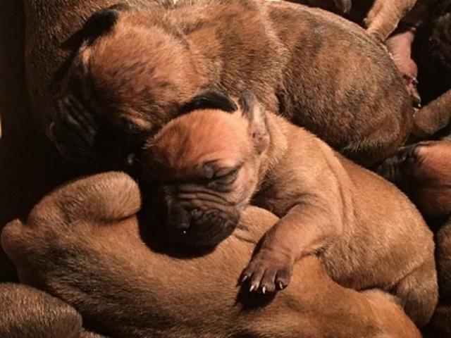 Adorable purebred boerboel puppies for sale. ...
