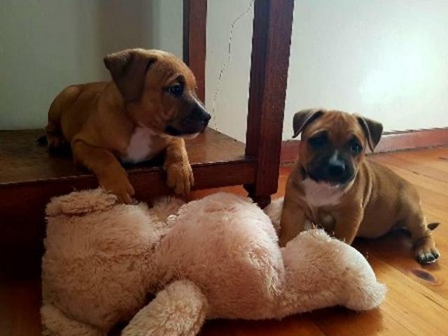 Staffordshire Bull Terrier (Staffie) puppies ...