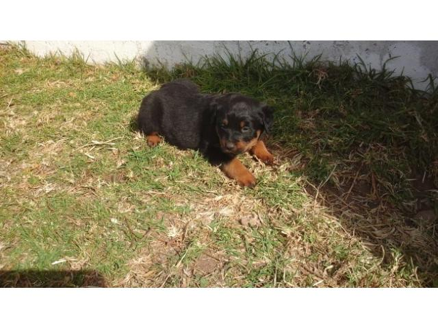8 x Rottweiler Puppies for sale, 6 weeks old,...