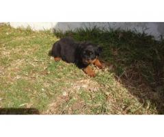 8 x Rottweiler Puppies for sale