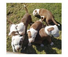 Registered longleg rednose Pitbull puppies for sale