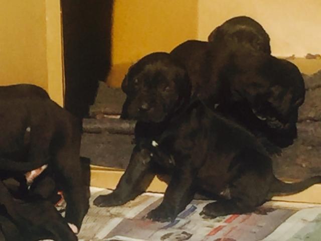 We have Brazilian Mastiff x Pittbull puppies ...