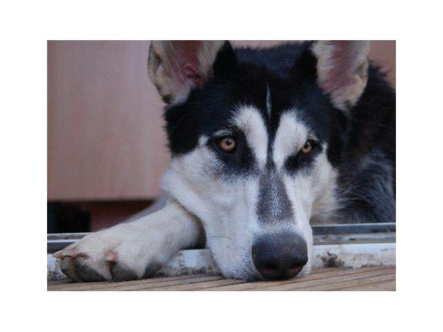Northern Inuits pups for sale | Wolf like dogs Natal