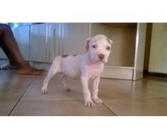 FEMALE PITBULL TERRIER PUPPY