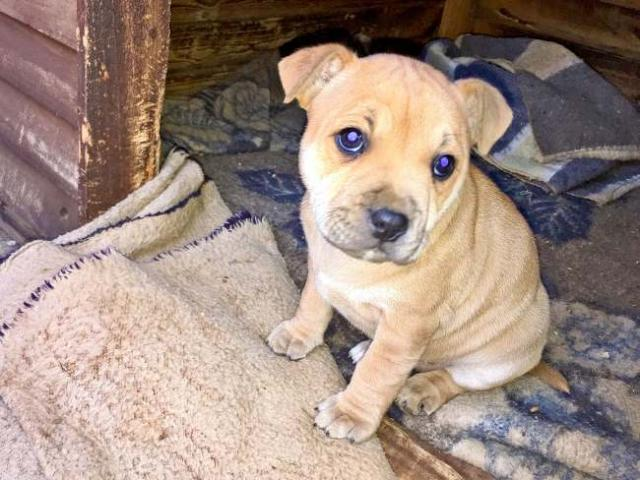 2x Beautiful female Staffy puppies for sale. ...