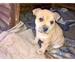 2x Beautiful Staffie Puppies for sale