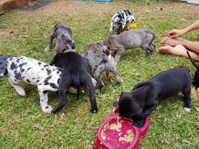 Gorgeous Great Dane puppies for sale, we have...