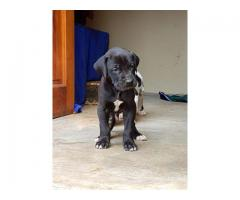 Gorgeous Great Dane puppies for sale