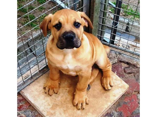 Beautiful registered Boerboel puppies for sal...