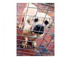 Beautiful Registered Boerboel puppies for sale (SABBS Breeder)