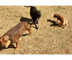 Beautiful Female Staffie Puppy for sale