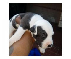 3 x Pitbull puppies for sale (pure breed American pitbulls)