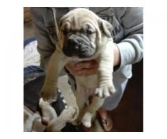 5 Beautiful Boerboel Puppies for sale