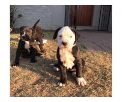 Beautiful black and white pit bull puppies for sale