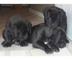 6 Pedigree Boerboel puppies for sale