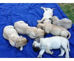 Boerboel Puppies for sale x 4