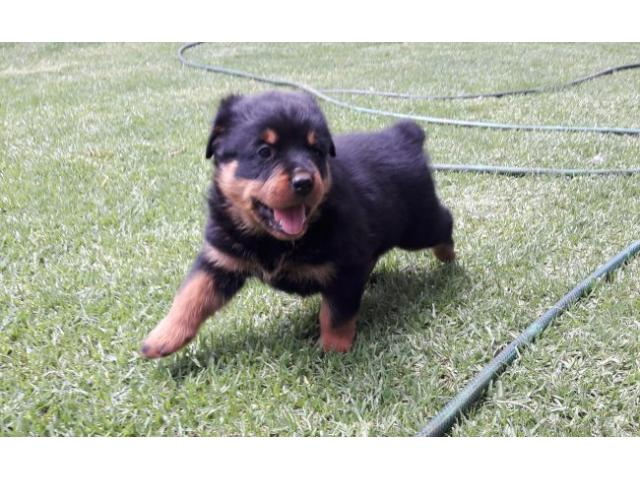 Gorgeous Rottweiler Puppies for sale we have ...