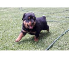 4 x Rottweiler Puppies for sale