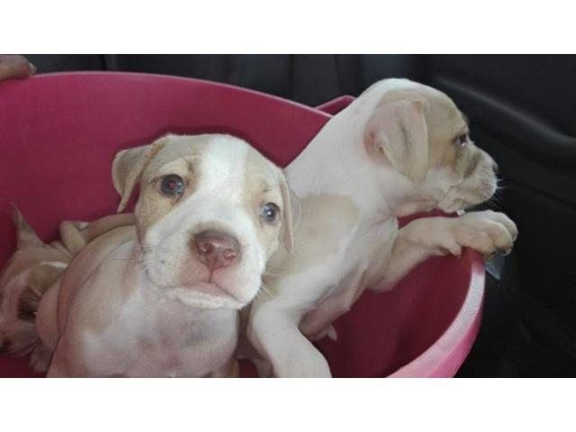 Pitbull puppies for sale. Tan and white. Male...