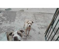 Pitbull puppies for sale – Rocky Carver Bloodline
