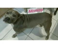 5 Blue and White SADBA Registered Pitbull puppies for sale