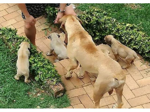 Pure breed Boerboel Pupies for Sale. We have ...