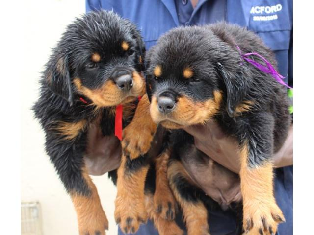 KUSA registered rottweiler puppies from impor...