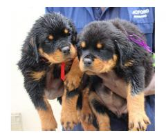 KUSA registered Pottweiler puppies from imported bloodlines for sale