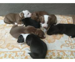 Beautiful Pure breed American Pit bull Terrier for sale