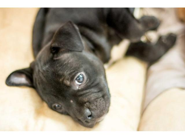 Beautiful Staffie Puppies for sale, they'll g...