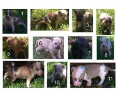 Pitbull - PUPPIES FOR SALE