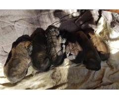 Bull Mastiff - PUPPIES FOR SALE