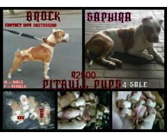 Pitbull pups for sale x 6