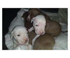 Beautiful pitbull puppies for sale