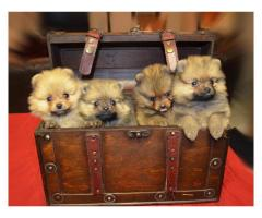 Pomeranian ( Toy Pom ) puppies for sale