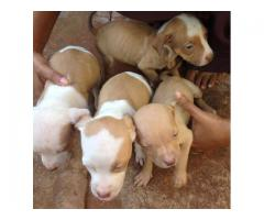 Blue bloodline pitbull puppies for sale
